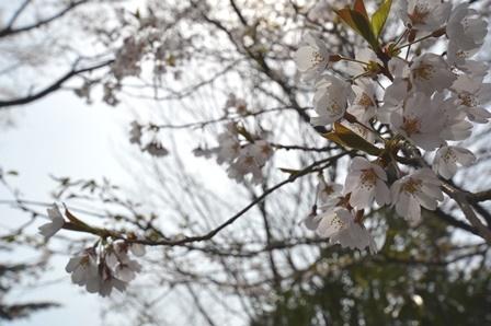 桜 仙台.JPG